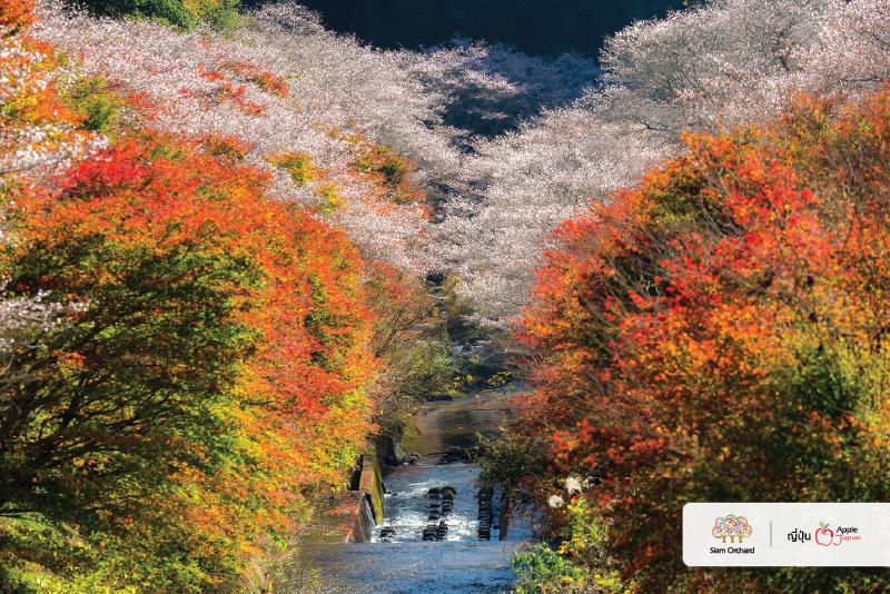 ทัวร์ญี่ปุ่นราคาถูก-พาไปดูซากุระจะบานพร้อมกับใบไม้แดงทั้งป่า