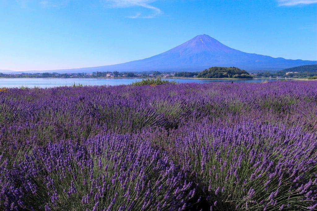 ทัวร์ญี่ปุ่น ชมวิวฟูจิ..ท่ามกลางทุ่งลาเวนเดอร์สีม่วงที่ Fuji Kawaguchiko Herb Festival