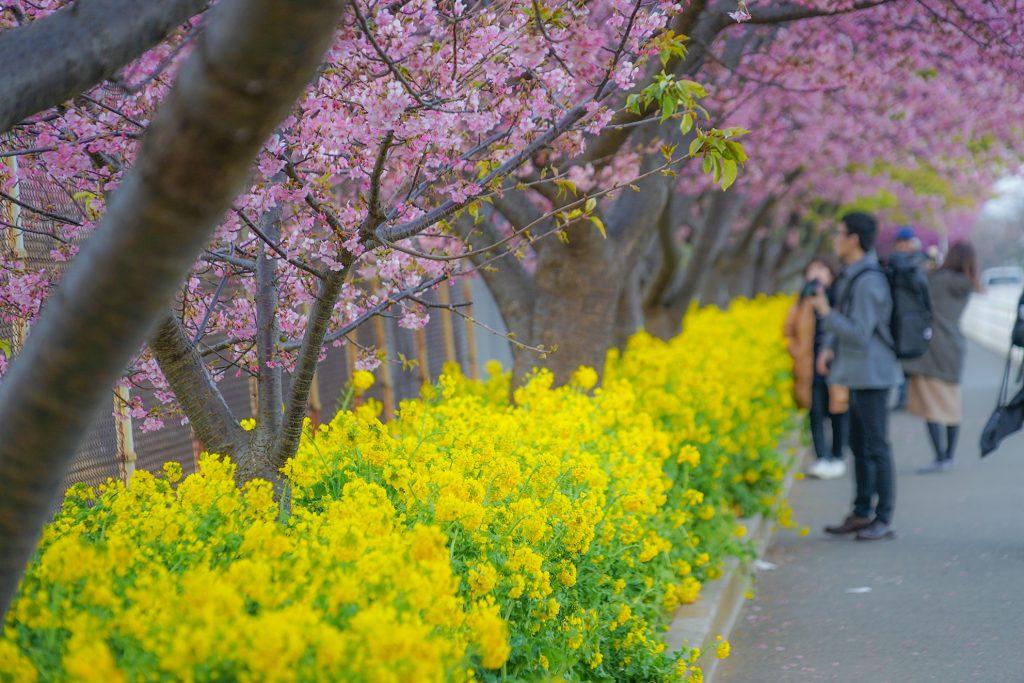 ทัวร์ญี่ปุ่น Kawazu Sakura สัมผัสเสน่ห์...ซากุระแห่งแรกแห่งฤดูหนาวญี่ปุ่น