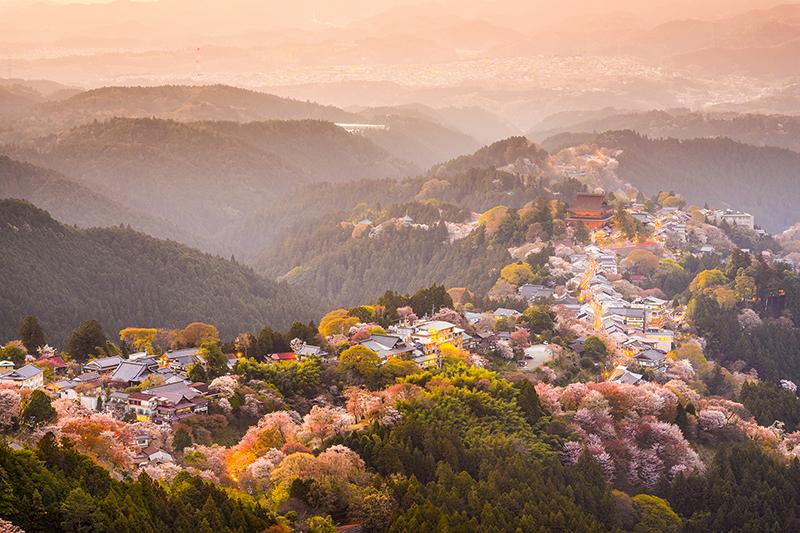 24 Yoshinoyama Sakura